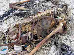 Dead Laysan Albatross skeleton containing plastic fragments
