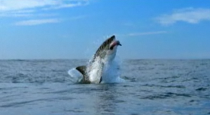 The shark uses its tail to speed up and catch prey