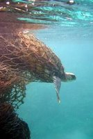 Sea turtle stuck in net found in the Pacific Gyre